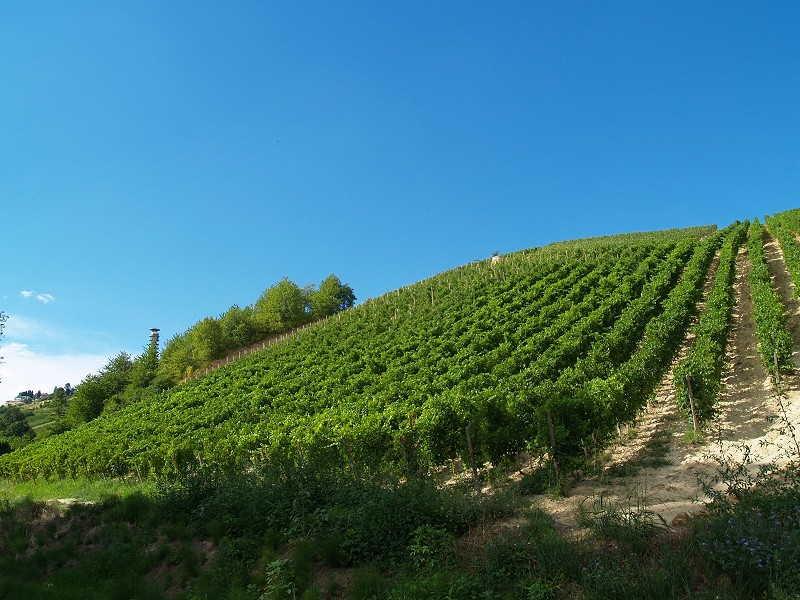 Vigneti in estate